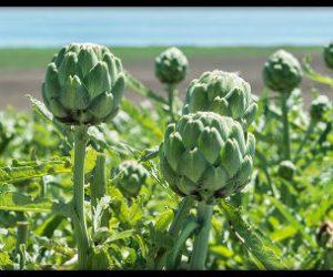 planta medicinal alcachofa