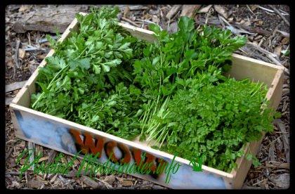 cilantro hierba medicinal