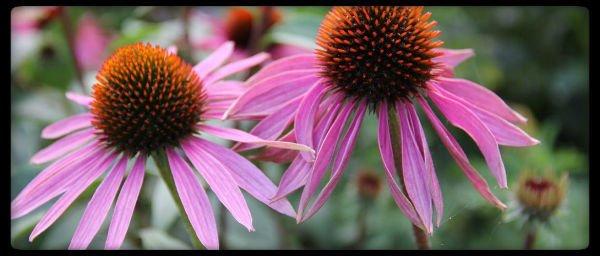 planta medicinal equinacea