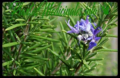 planta medicinal romero
