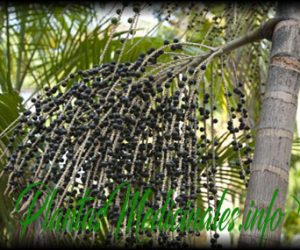 bayas de acai planta medicinal