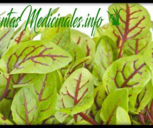 acedera planta medicinal