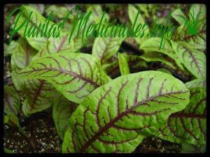 propiedades medicinales de la acedera