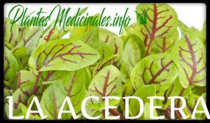 acedera plantas medicinales