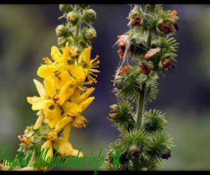 agrimonia plantas medicinales