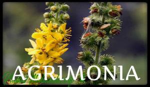 plantas medicinales agrimonia