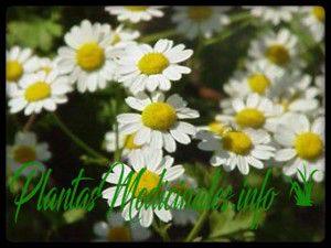 ajenjo artemisa planta medicinal