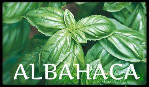 plantas medicinales albahaca
