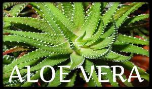 plantas medicinales aloe vera
