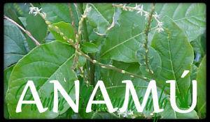 anamu plantas medicinales