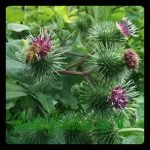 bardana planta medicinal