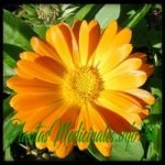 calendula planta medicinal