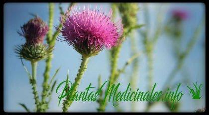 cardo mariano planta medicinal