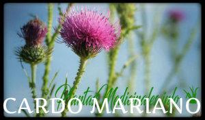 cardo mariano plantas medicinales