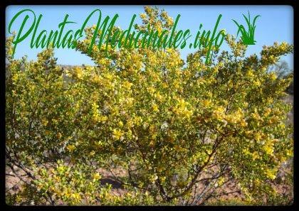 chaparral planta medicinal