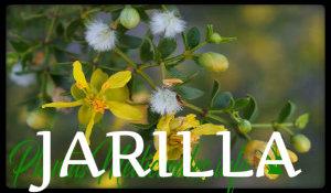 plantas medicinales jarilla