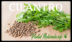 plantas medicinales cilantro