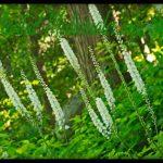 cohosh negro planta medicinal