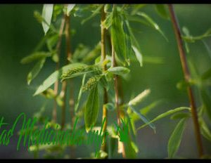 corteza de sauce blanco planta medicinal