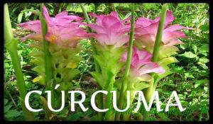 plantas medicinales curcuma