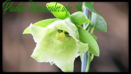 plantas medicinales dang shen