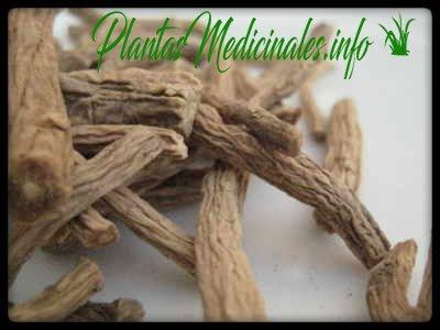 raiz dang shen usos medicinales