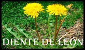 plantas medicinales diente de leon