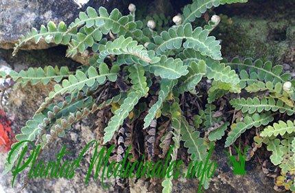 doradilla planta medicinal