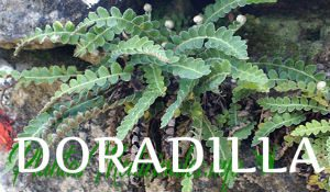 doradilla plantas medicinales