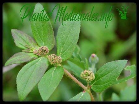 euphorbia propiedades medicinales