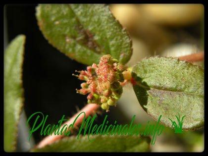 euphorbia hirta planta medicinal