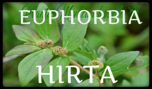 plantas medicinales euphobia hirta