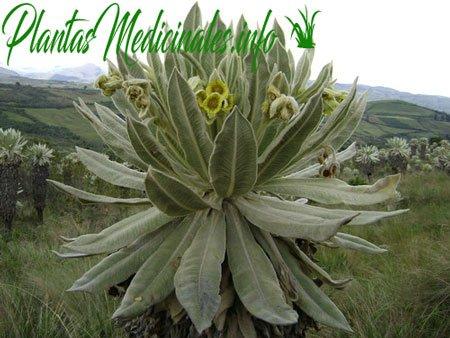 planta medicinal frailejon