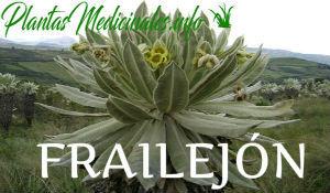 plantas medicinales frailejon
