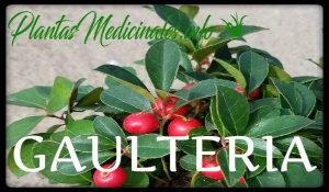 gaulteria planta medicinal