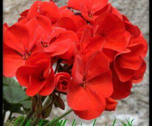 geranio planta medicinal