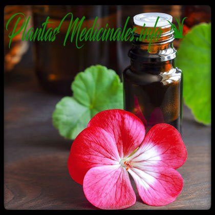 propiedades medicinales del geranio
