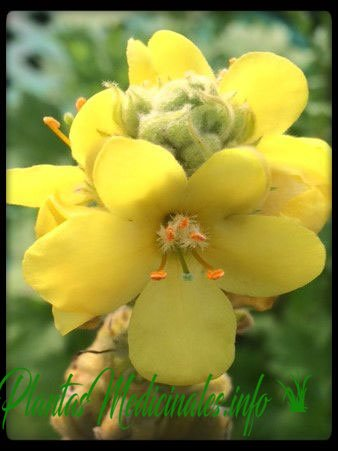 gordolobo planta medicinal