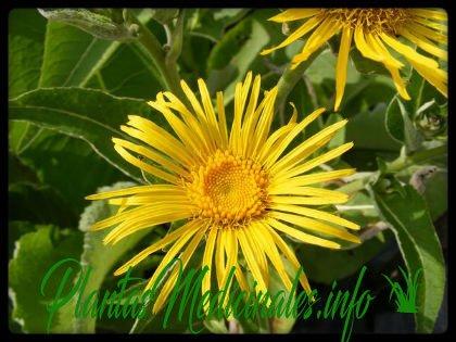helenio planta medicinal