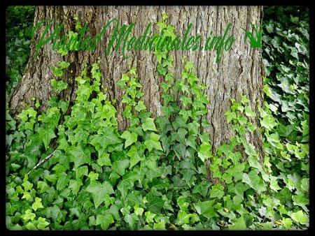 hiedra inglesa planta medicinal