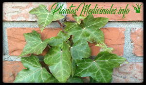 hiedra inglesa plantas medicinales