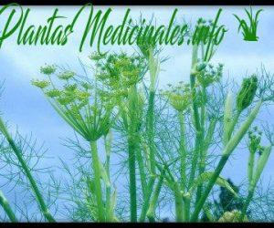 hinojo planta medicinal
