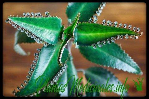 kalanchoe planta medicinal
