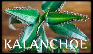kalanchoe plantas medicinales