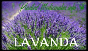 plantas medicinales lavanda