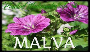 malva planta medicinal