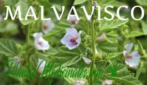 plantas medicinales malvavisco
