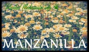 plantas medicinales manzanilla