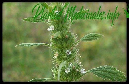 marrubio propiedades medicinales
