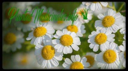 planta medicinal matricaria